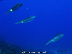Tropical Reef Squid by Steven Daniel 